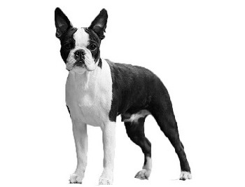 Boston terrier standard body